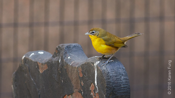 10 Nov: Yellow-breasted Chat