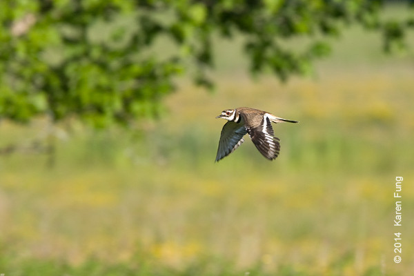 7 June: Killdeer at Shawangunk Grasslands NWR