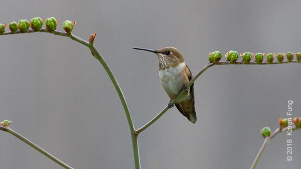 19 July: Rufous Hummingbird, Kirkland