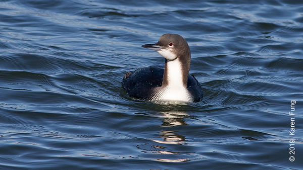 10 Feb: Pacific Loon at Oyster Bay Marine Center