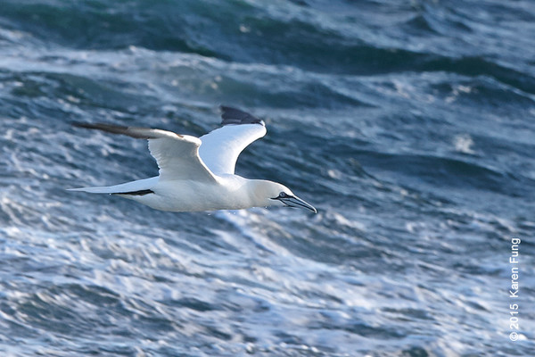 11 Jan: Northern Gannet on the Freeport pelagic