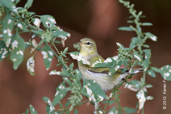 30 September: Tennessee Warbler in Central Park