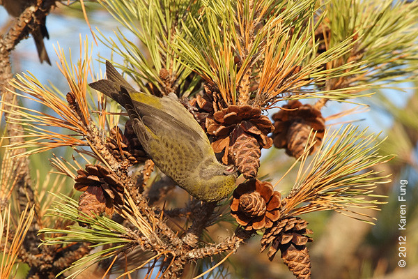 18 November: Red Crossbill (female) in Suffolk County