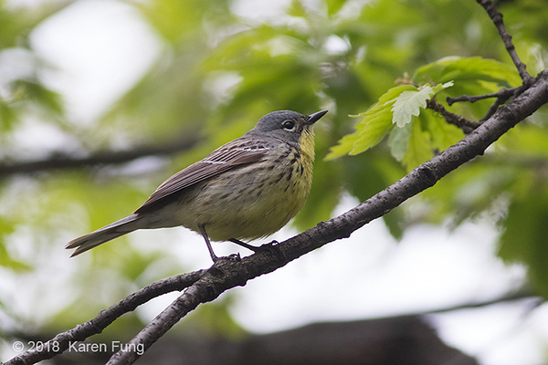 12 May: Kirtland's Warbler, Central Park