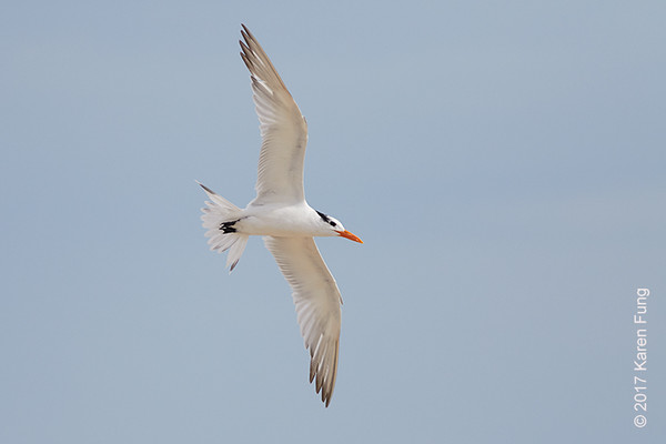 11 October: Royal Tern