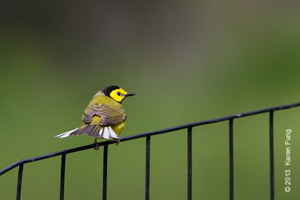 18 May: Hooded Warbler fanning his tail in Central Park