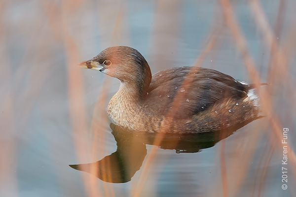 1 April: Pied-billed Grebe