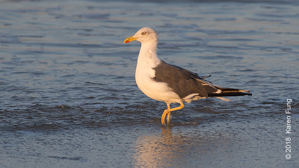 3 Oct: Lesser Black-backed Gull in Cape May (2nd Ave jetty)