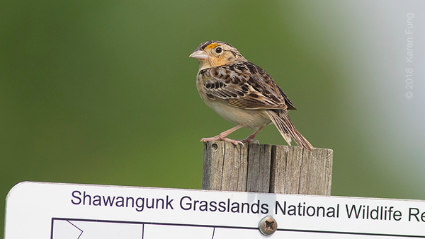 2 June: Grasshopper Sparrow at Shawangunk Grasslands NWR