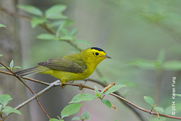 10 May: Wilson's Warbler in Central Park (Loch)