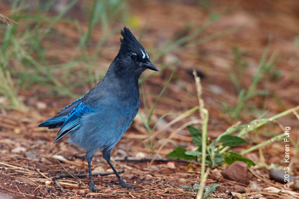 10 Sept: Steller's Jay in New Mexico