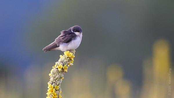 10 July: Tree Swallow at Croton Pt Park