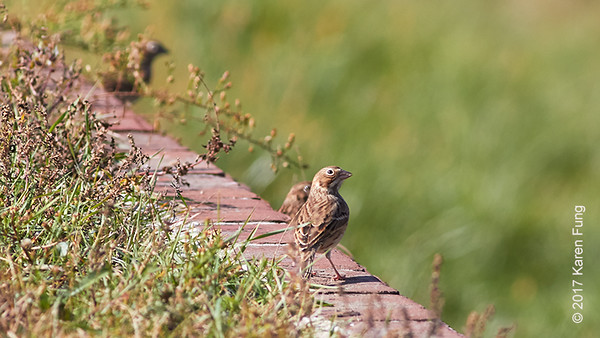 22 October: Vesper Sparrows