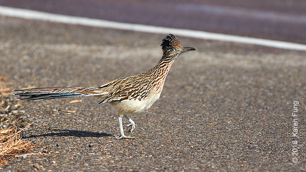 10 January: Greater Roadrunner at Bosque del Apache NWR