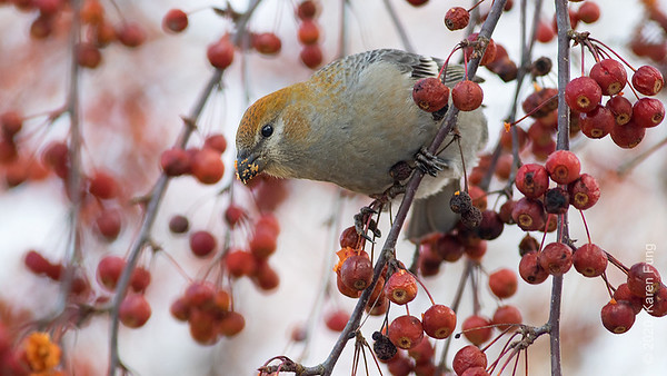 11 December: Pine Grosbeak