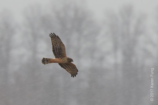 14 Jan: Northern Harrier hunting