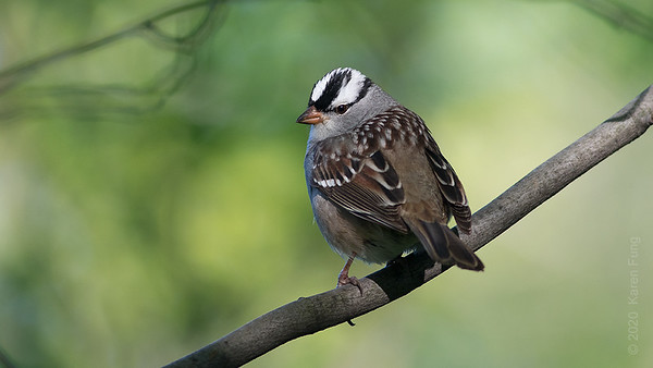 9 May: White-crowned Sparrow