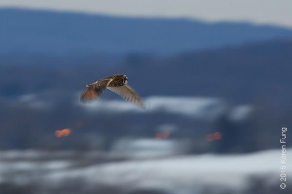 31 Dec: Short-eared Owl hunting at dusk