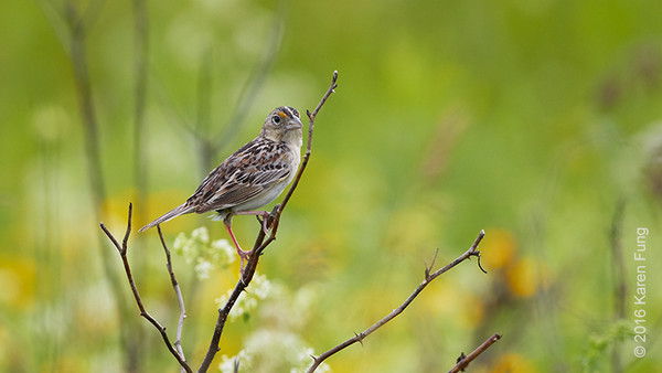 4 June: Grasshopper Sparrow