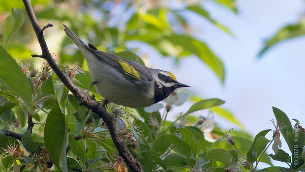 7 May: Golden-winged Warbler