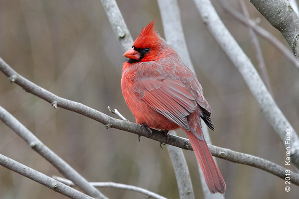 16 February: Northern Cardinal in Central Park
