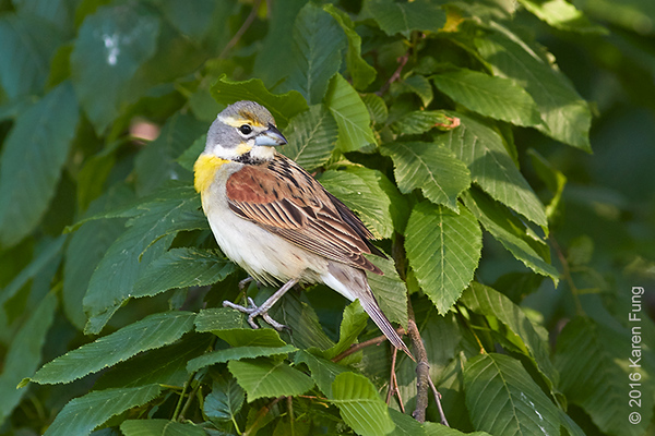 28 May: Dickcissel in Central Park