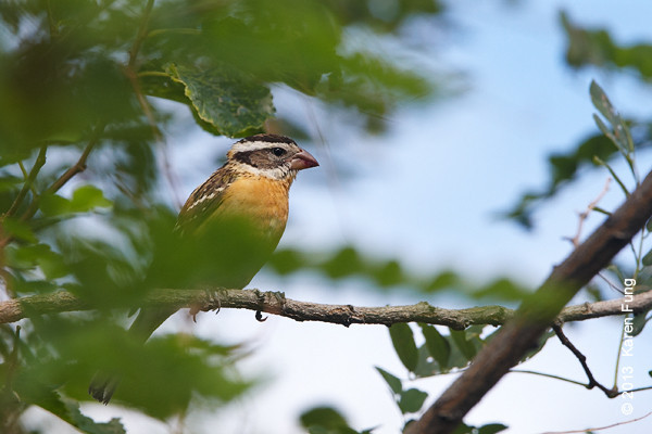 11 Sept: Black-headed Grosbeak in New Mexico