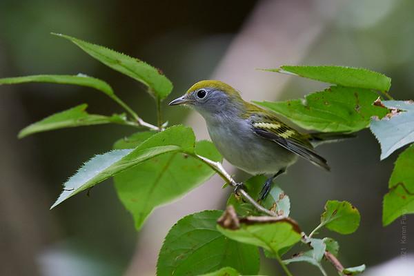 11 Sept: Chestnut-sided Warbler in Central Park