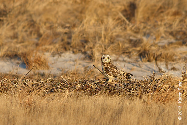 9 March: Short-eared Owl