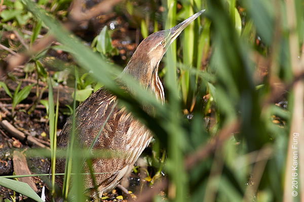 8 May: American Bittern in Central Park