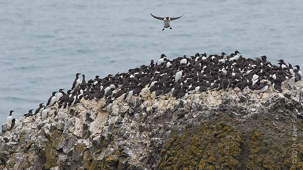 22 June: Common Murre colony