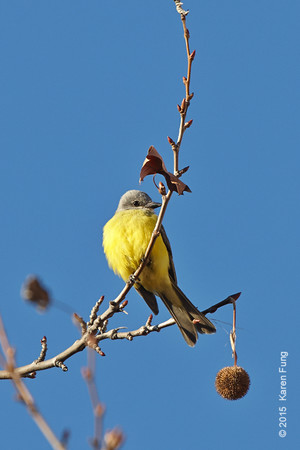 1 Jan: Couch's Kingbird in Manhattan's West Village (continuing).  First reported ~ 25 Dec though seen for at least 4 weeks prior to that.
