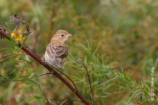 8 October: Indigo Bunting at Jones Beach