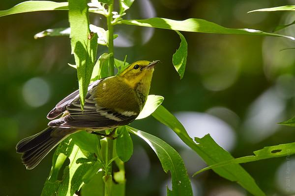 11 Sept: Black-throated Green Warbler in Central Park