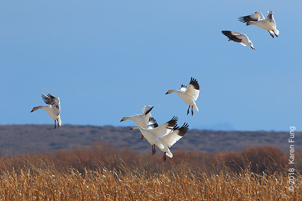 10 January: Snow Geese at Bosque del Apache NWR