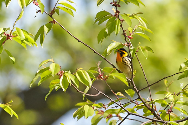 3 May: Blackburnian Warbler singing, Central Park North Woods (heavily cropped)
