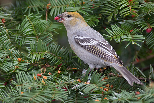 10 December: Pine Grosbeak