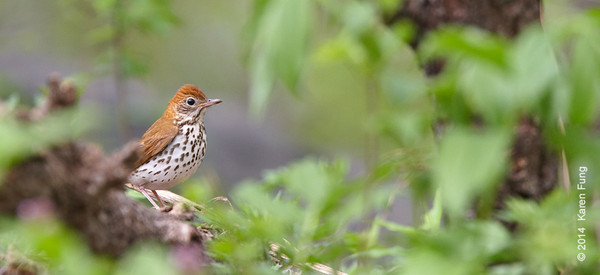 6 May: Wood Thrush in Central Park