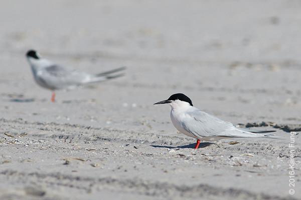 18 June: Roseate Tern
