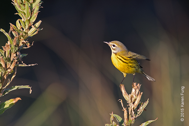 18 Sept: Prairie Warbler at the Jones Beach Coast Guard Station