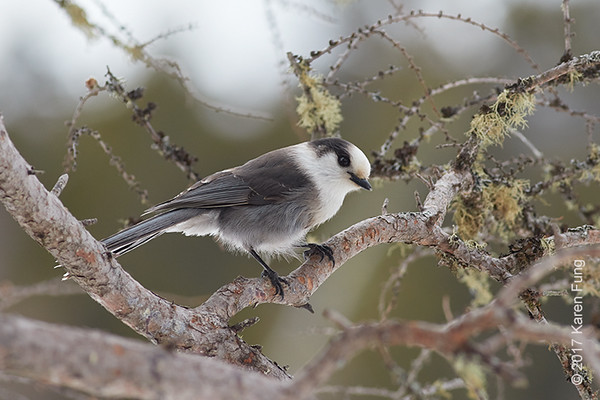 19 Feb: Gray Jay