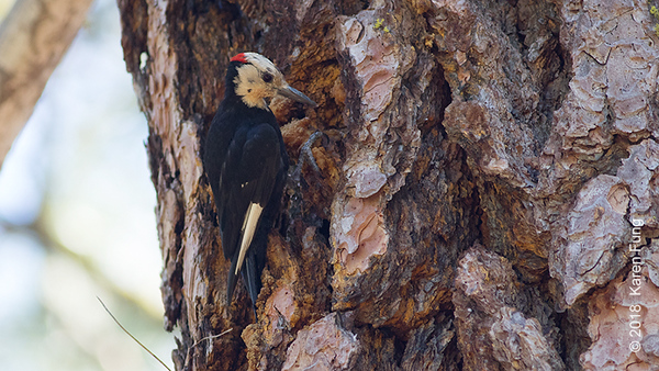 18 July: White-headed Woodpecker, Cascades