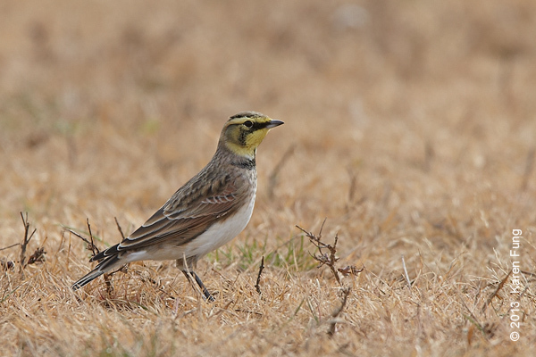 3 Nov: Horned Lark in Van Cortlandt Park