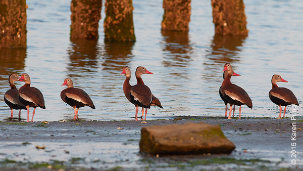 28 May: Black-bellied Whistling-Ducks at Marine Park, Brooklyn