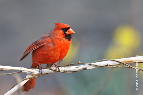 13 April: Northern Cardinal in Central Park