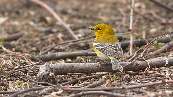 7 April: Pine Warbler, Central Park (Great Hill)