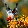 Scarlet Honeyeater