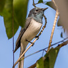 Male Leaden Flycatcher