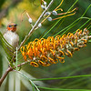 Immature Scarlet Honeyeater