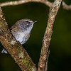 Brown Thornbill/Gerygone?